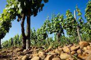 Vignes plantées dans un sol de galet