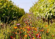 jachère fleurie au coeur des vignes