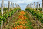 le printemps en agriculture raisonnée dans les vignes