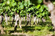 jeunes vignes de cépage fer servadou